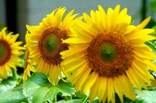ひまわりの花の写真素材 [FYI00240549]