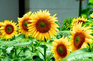 ひまわりの花の写真素材 [FYI00240550]