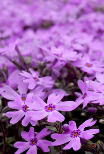 芝桜の写真素材 [FYI00240588]