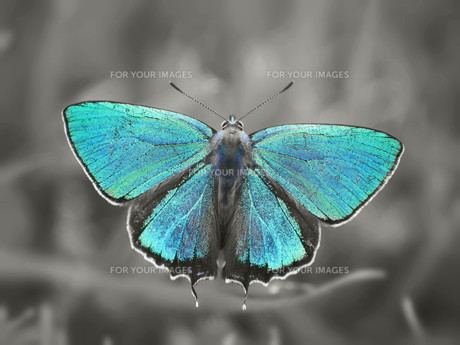 blue butterfly の素材 [FYI00240597]
