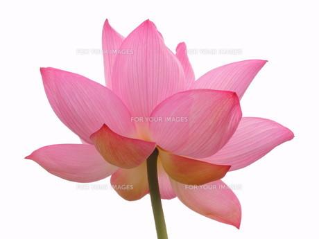 蓮の花の素材 [FYI00240621]