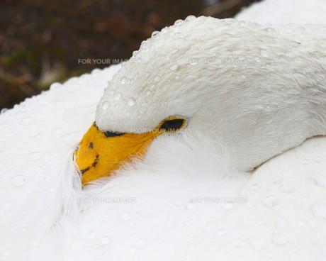 白鳥の素材 [FYI00240641]