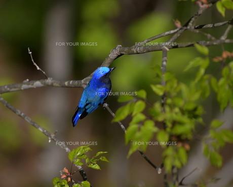 青い鳥の素材 [FYI00240662]