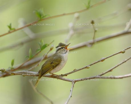 鳥の歌の素材 [FYI00240687]