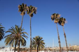 バルセロネータビーチのヤシの木の写真素材 [FYI00241548]