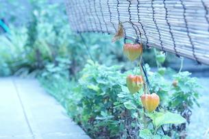 ホオズキと葦簀の写真素材 [FYI00241649]