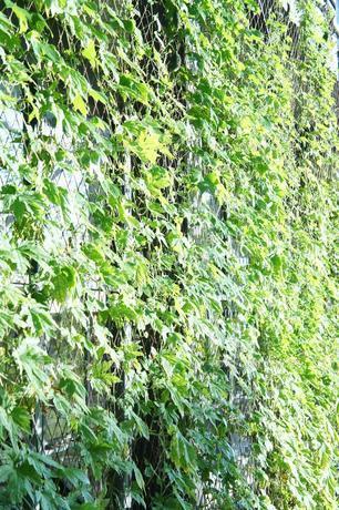 緑のカーテンの素材 [FYI00241686]