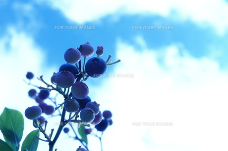 ブルーベリーと大空の写真素材 [FYI00241750]