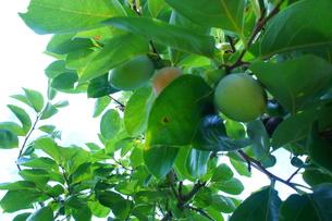 柿の写真素材 [FYI00241874]