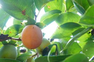 柿の写真素材 [FYI00242048]
