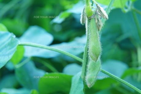 枝豆の写真素材 [FYI00242152]