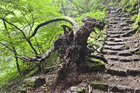 御岳岩石園の奇木の素材 [FYI00242336]