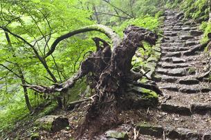 御岳岩石園の奇木の写真素材 [FYI00242336]