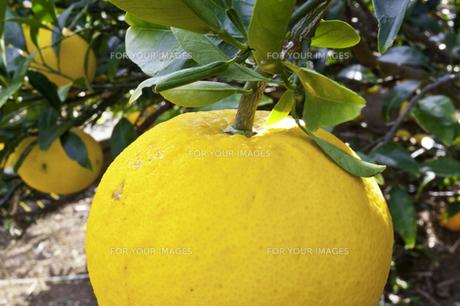 柑橘の素材 [FYI00242350]