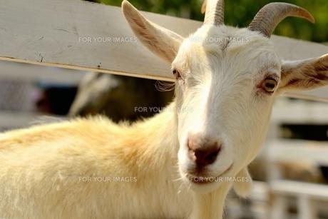 牧場の山羊の写真素材 [FYI00242400]