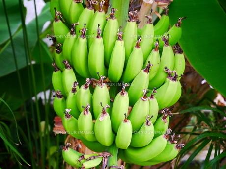 バナナの写真素材 [FYI00242474]