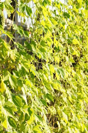 緑のカーテンの写真素材 [FYI00242541]