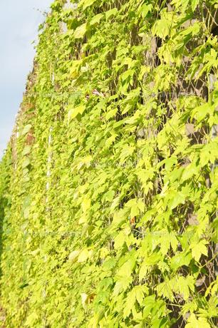 緑のカーテンの素材 [FYI00242558]