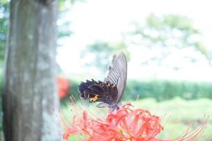 黒アゲハチョウと彼岸花の写真素材 [FYI00242625]