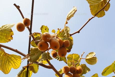 キュウイフルーツの写真素材 [FYI00242633]
