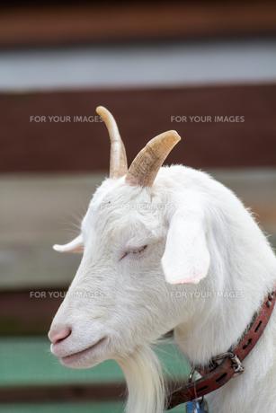 ヤギの写真素材 [FYI00242642]