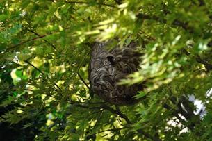 スズメバチの巣の写真素材 [FYI00242717]