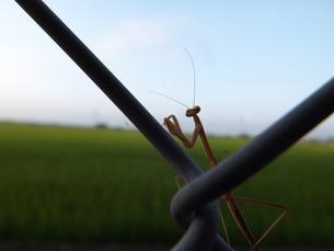 カマキリの孤独の写真素材 [FYI00242725]