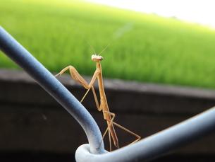 カマキリの幼虫の写真素材 [FYI00242728]