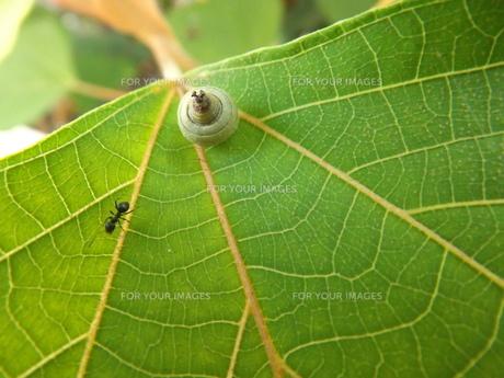 赤芽柏の葉とドングリに蟻の写真素材 [FYI00242791]