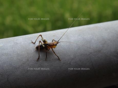 ササキリ幼虫の未来の素材 [FYI00242806]