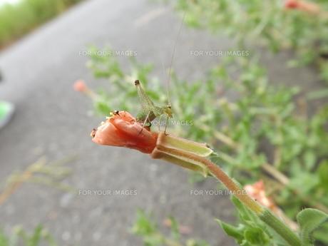 アシグロツユムシの幼虫の写真素材 [FYI00242810]