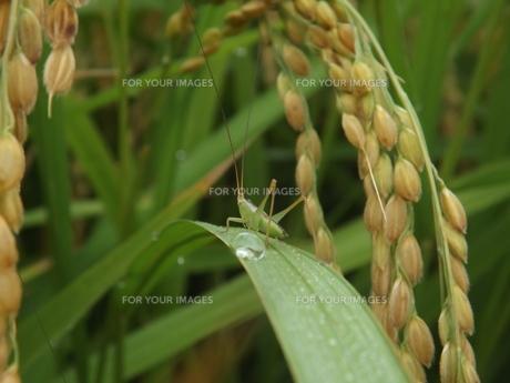 黄金色の水田に立つヤブキリ幼虫の勇姿の写真素材 [FYI00242814]