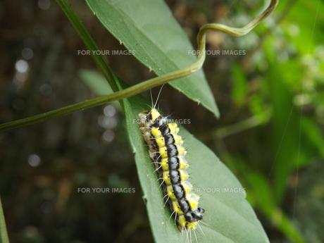 ホタルガの幼虫の写真素材 [FYI00242822]