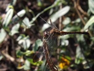 初秋のノシメトンボ♀の写真素材 [FYI00242858]