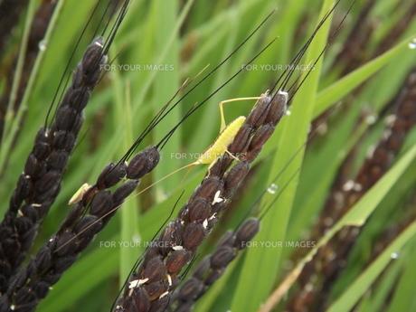 古代米とササキリの幼虫の素材 [FYI00242869]