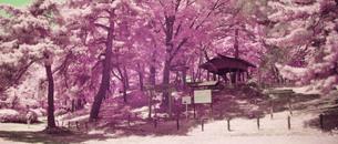 城山公園の生い茂った木立にたたずむ鳥居と社  遠景の写真素材 [FYI00243116]
