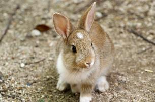 何かに振り向くウサギの写真素材 [FYI00243186]
