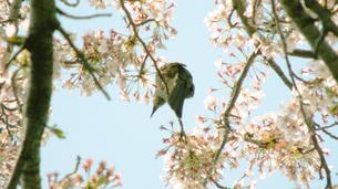 桜と小鳥の素材 [FYI00243202]