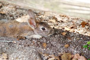日陰で寝そべる茶色のウサギの写真素材 [FYI00243205]