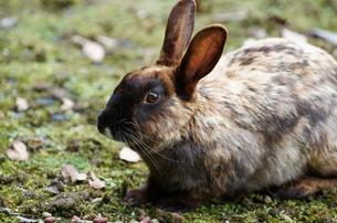木陰で休む黒顔のウサギの写真素材 [FYI00243210]