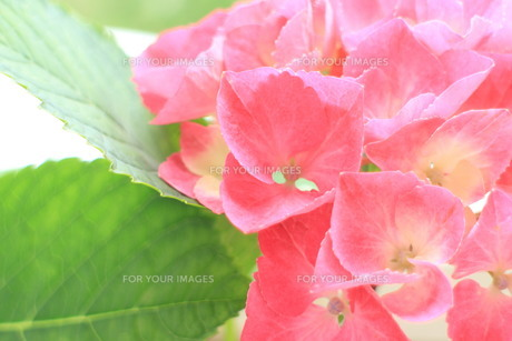 濃いピンクのアジサイ4の素材 [FYI00243222]