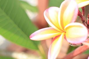 ピンクと黄色のプルメリアの素材 [FYI00243234]