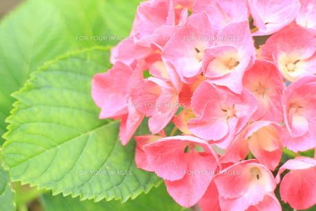 濃いピンクのアジサイ2の素材 [FYI00243239]