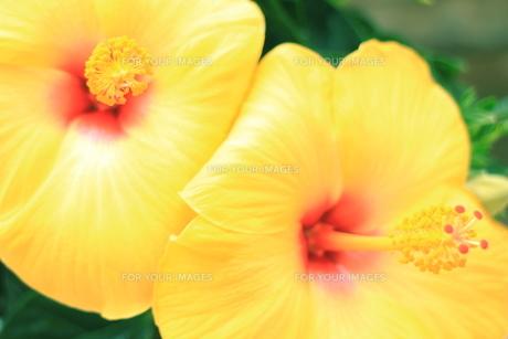 黄色と赤の珍しい色のハイビスカスの素材 [FYI00243250]