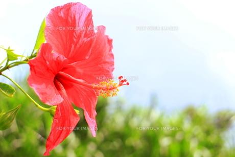 沖縄の赤いハイビスカス(鮮やか)の素材 [FYI00243264]