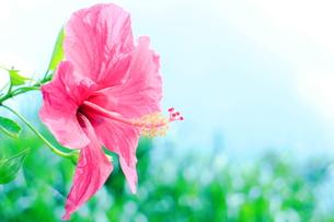 沖縄の赤いハイビスカス(淡い色)の写真素材 [FYI00243268]