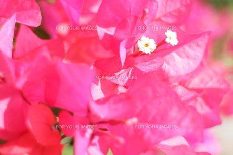 ブーゲンビリアの白い花の素材 [FYI00243287]