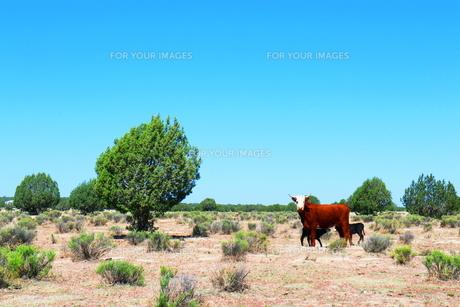 アリゾナの大地と牛の親子の素材 [FYI00243289]