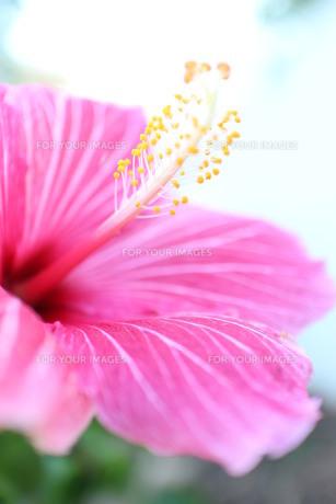 ピンクのストライプのハイビスカス(タテ)の素材 [FYI00243290]