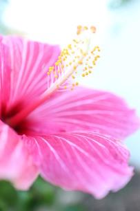 ピンクのストライプのハイビスカス(タテ)の写真素材 [FYI00243290]